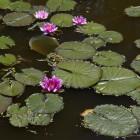 Vijveronderhoud: waterplanten voor biologisch evenwicht