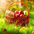 Wanneer appel- en perenrassen plukken en hoe bewaren