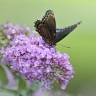 Meer vlinders in uw tuin