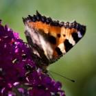 Meer vlinders in de tuin