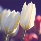 Hoe onderhouden we voorjaarsbloemen in potjes?