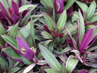 Tradescantia spathacea / Bron: Forest & Kim Starr, Wikimedia Commons (CC BY-3.0)