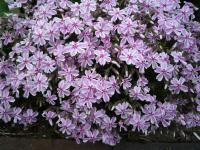 Vaste Planten Tuin : Roze bloeiende vaste planten huis en tuin: tuin