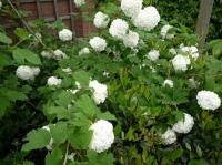 Witte Vaste Planten.Wit Bloeiende Vaste Planten Huis En Tuin Tuin