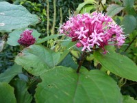 Clerodendrum bungeï