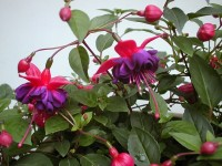 Fuchsia 'Dark Eyes'