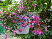 Fuchsia 'Blue Eyes'